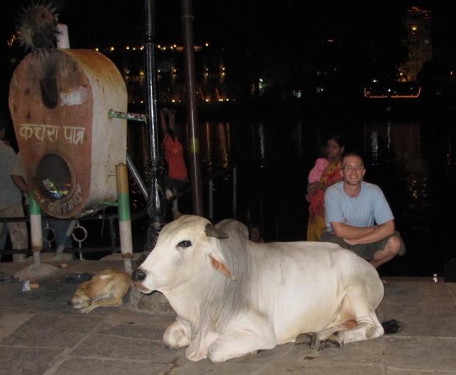 Udaipur'un kutsal ve güzel inekleri:)