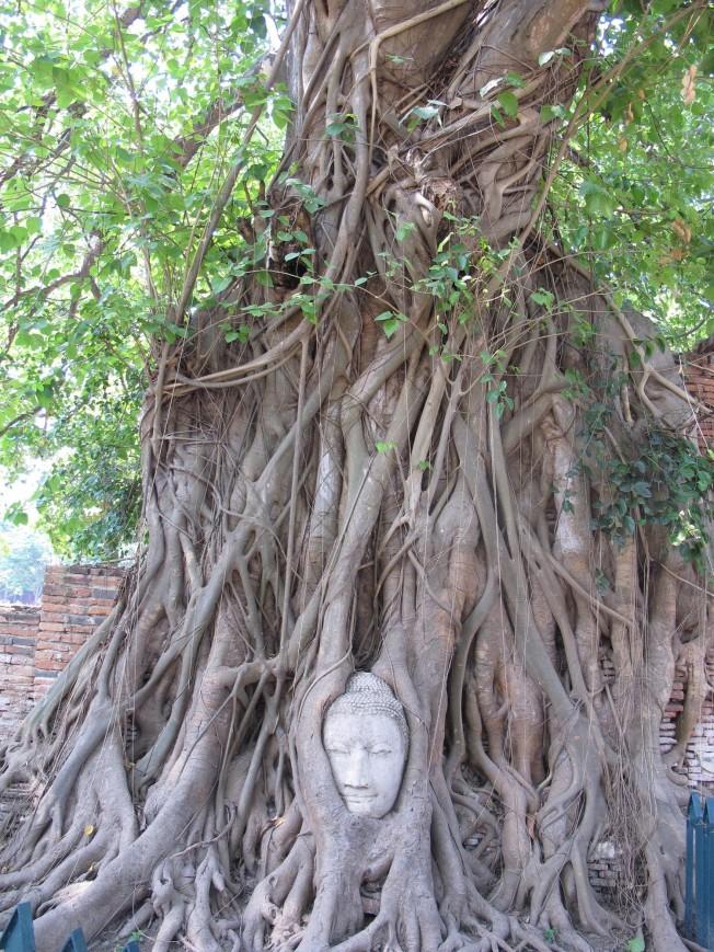Ağaç içindeki Buddha - Ayutyaha