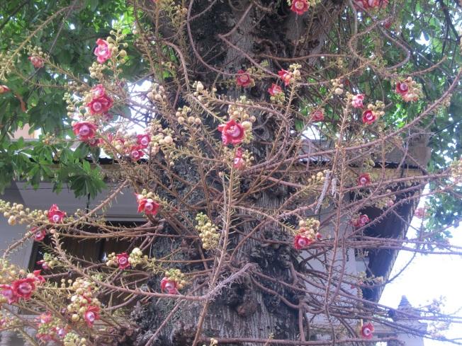 Kraliyet Sarayı bahçesindeki ilginç ağaç