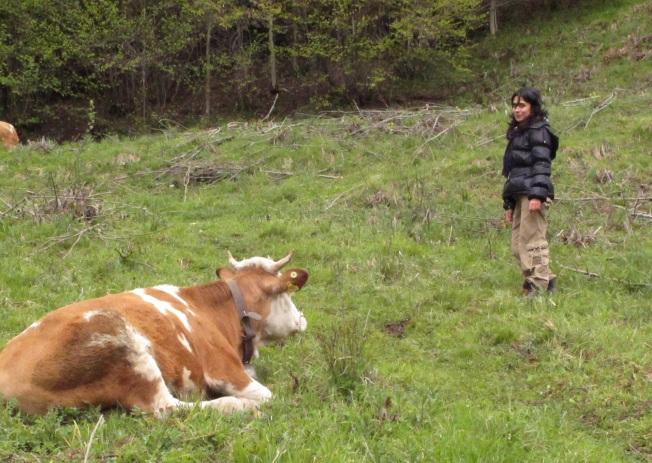 Milka ineği ile karşılaşma