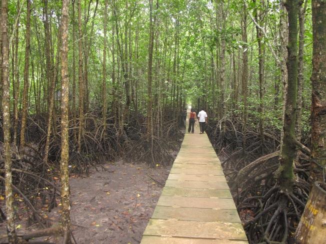 Mangrov ağaçları arasında yürüyüş